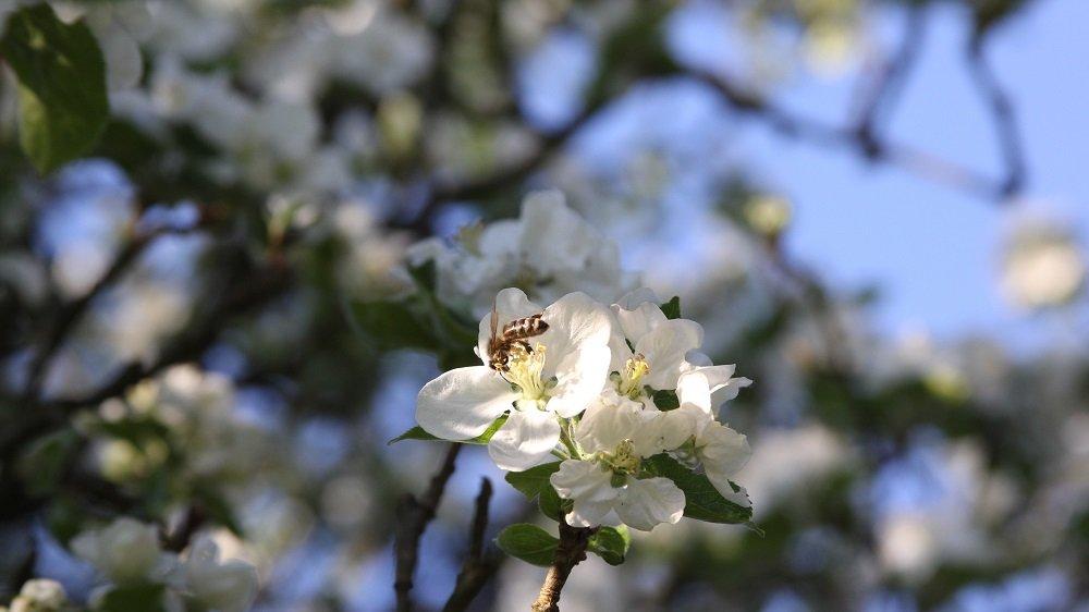 Honigbiene an einer weißen Apfelbaumblüte