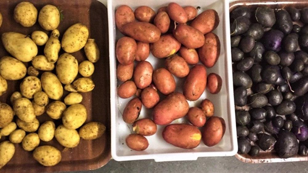 Linda, Laura und Anneliese - die Kartoffelernte im Schulgarten der Christlichen Gesamtschule
