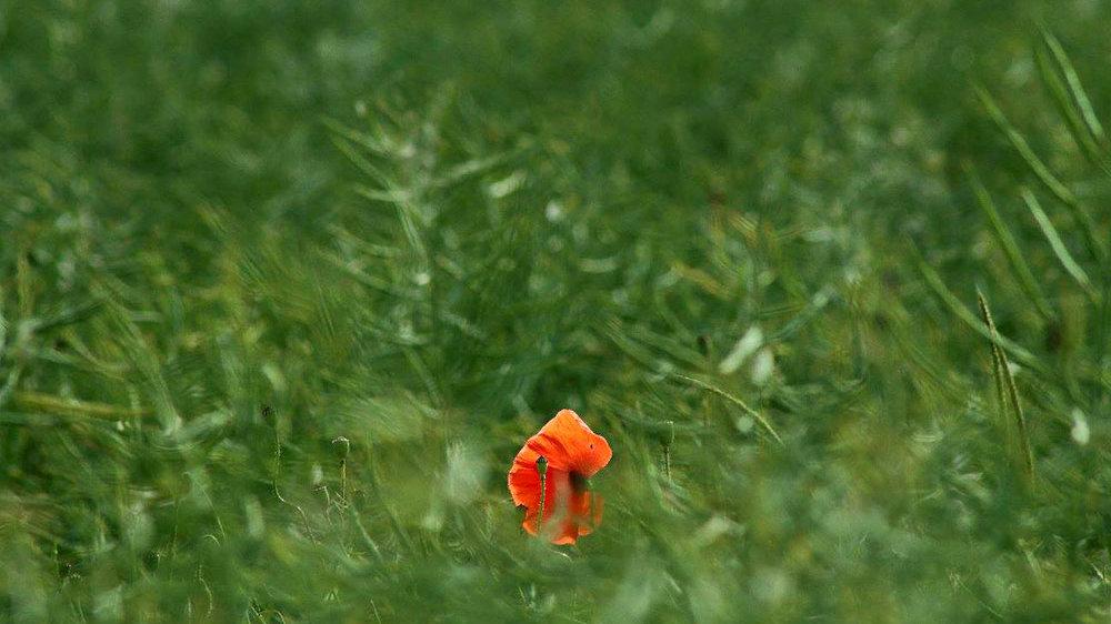 Klatschmohn auf grüner Wiese