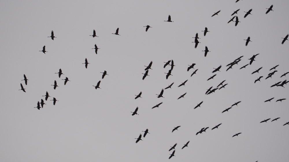 Kraniche am Himmel