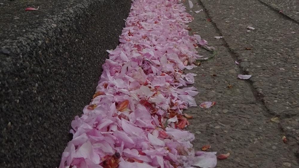 Kirschblütenblätter im Rinnstein