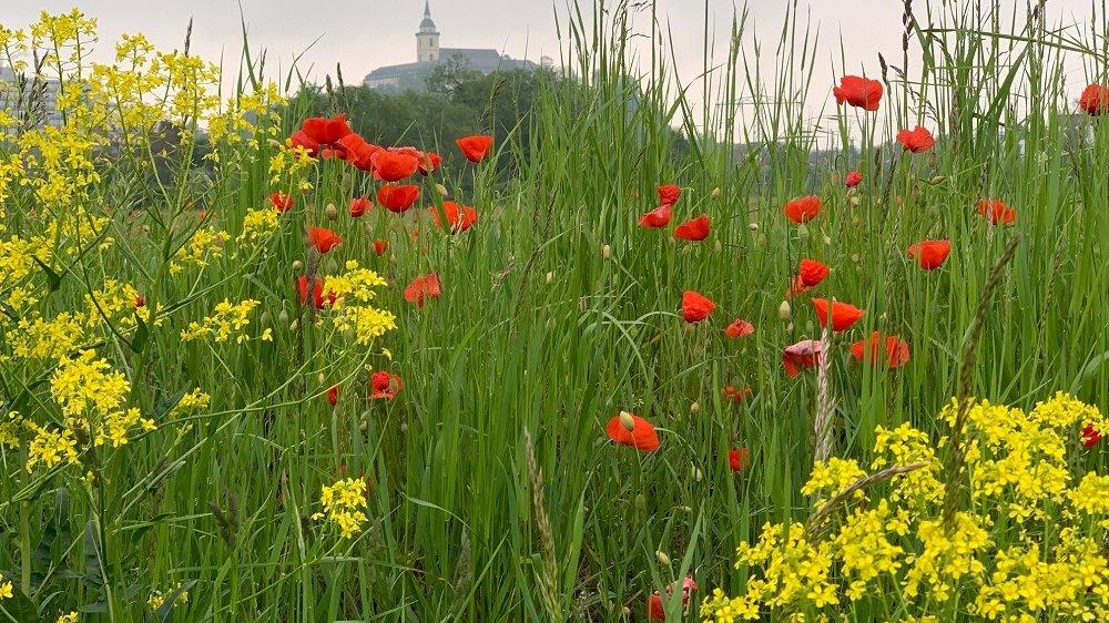 Michaelsberg über saftiggrüner und blütenreicher Wiese