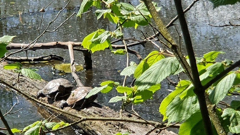 Zwei Wasserschildkröten auf einem Baumstamm